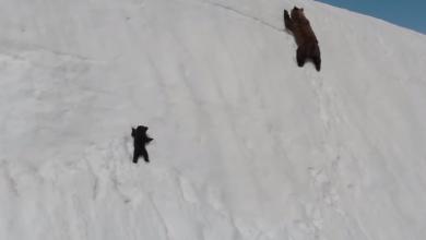 Photo of VIDEO emoționant: Cum își învață o ursoaică puiul să fie perseverent